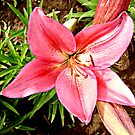 Pink Lily by Jenebraska