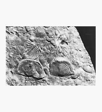 Trilobite and brachiopod fossils from Usk, Monmouthshire Photographic Print