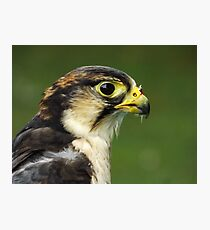 Lanner falcon Photographic Print