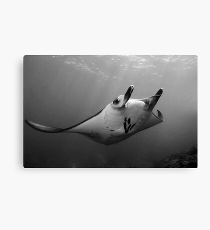 Manta Pose B&W Canvas Print