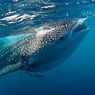 Whaleshark by Carlos Villoch