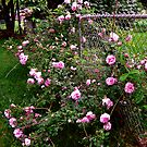 Roses On A Fence by Linda Miller Gesualdo