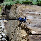 Blue Damsell Fly by Bellavista2
