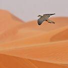 Barbary Falcon by David Clark
