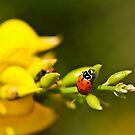 Ladybug Climbing On a Flower by Amber D Hathaway Photography