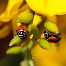 Two Ladybugs  by Amber D Hathaway Photography