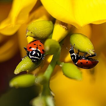 Two Ladybugs  by Dai-Boo