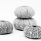 sea urchin shells, black and white by Janine Paris