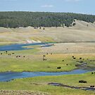 Yellowstone Bison Grazing by Michelle McConnell
