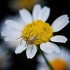 Spider Flower  by D-GaP