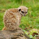 Meerkat by Andy Beattie