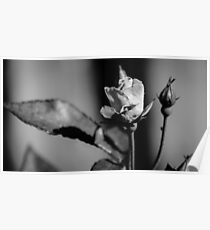 Rose Black And White Poster