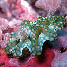 Nudibranch (Ceratosoma Sinuatum) by Marcel Botman