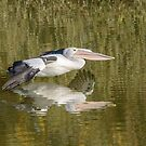 Pelican on the Murray 01 by Werner Padarin