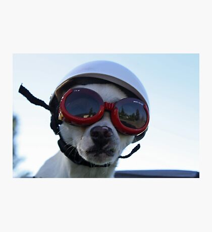 Chihuahua and the Bike Safety Message Photographic Print