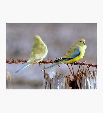 Wild budgerigars Photographic Print