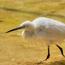 Close Up of a Little Egret by Vicki Spindler (VHS Photography)