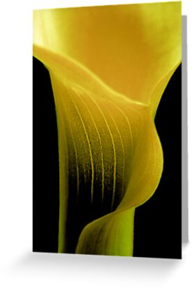 yellow calla ... by SNAPPYDAVE
