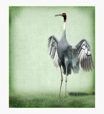 Sarus Crane Photographic Print