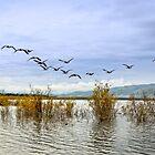 Geese at Lake Laberge by Yukondick