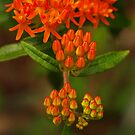 Butterfly Weed by Richard G Witham