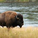 Bison of Yellowstone by cshphotos