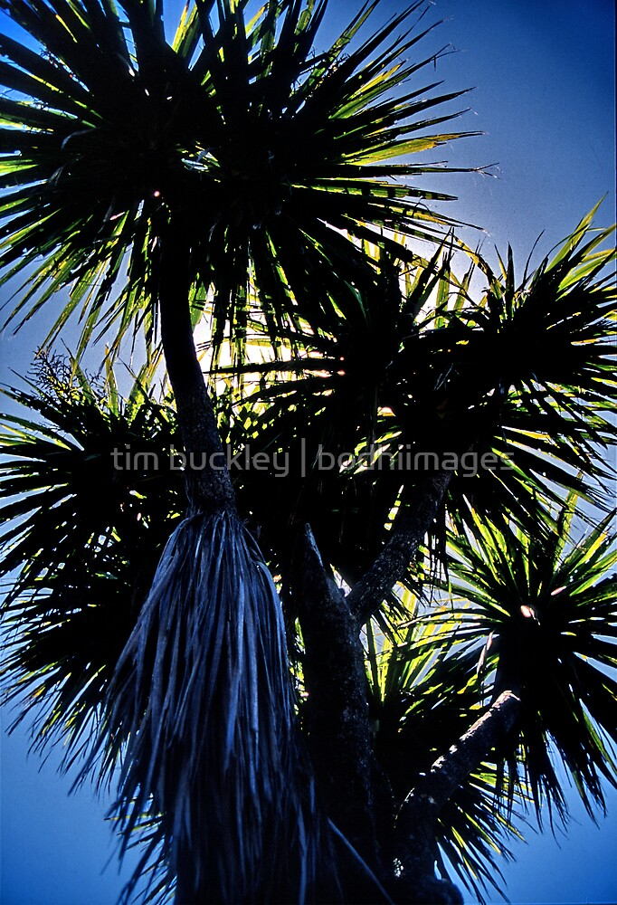 cabbage tree. aotearoa - new zealand by tim buckley   bodhiimages