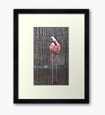 Last Adelaide Flamingo Framed Print