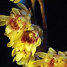 Chimonanthus Praecox by Bev Pascoe