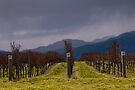 Grapevines after Pruning by Werner Padarin
