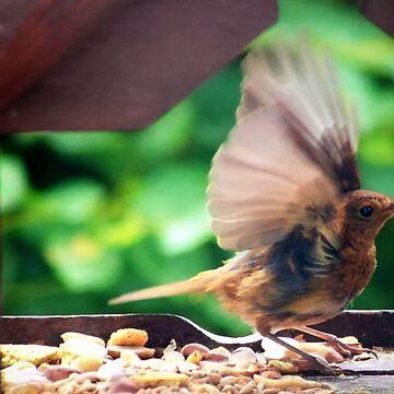Fledgling robin by missmoneypenny