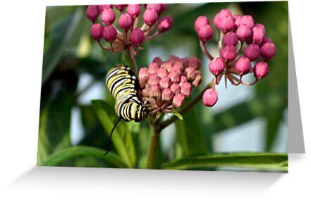 Swamp Milkweed & Monarch Butterfly Caterpiller  by Gene Walls