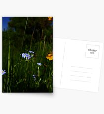 Water Forget-me-not (Myosotis scorpioides) Postcards