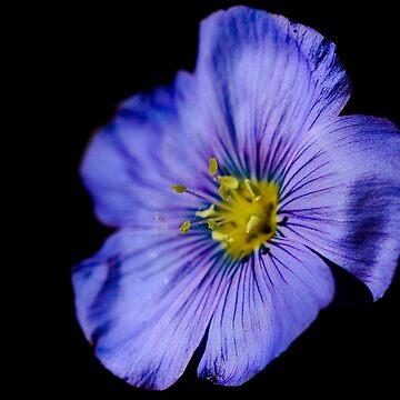 Dramatic Flax Flower by Dai-Boo