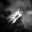 Daisy #2 by Kasia Fiszer