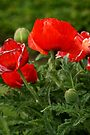 Red Poppy by Andy Beattie