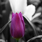 Vibrant Tulip by Andy Beattie