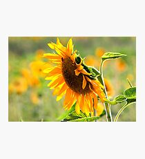 Close up of a Large sunflower in a field of sunflowers Photographic Print