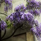 Dreamy Wisteria by Astrid Ewing Photography