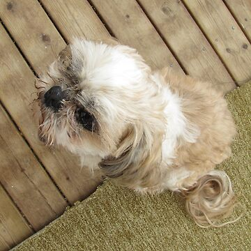 shih tzu look cool by PVagberg