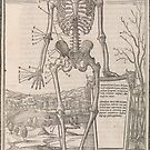 Anatomical skeleton illustration from De dissectione partium corporis humani libri tres published circa 1545 by artfromthepast