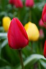 Red Tulip by Andy Beattie