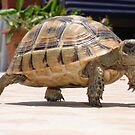 Marching Baby Tortoise  by taiche