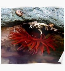 Sea Anemone, Bruny Island, Tasmania Poster
