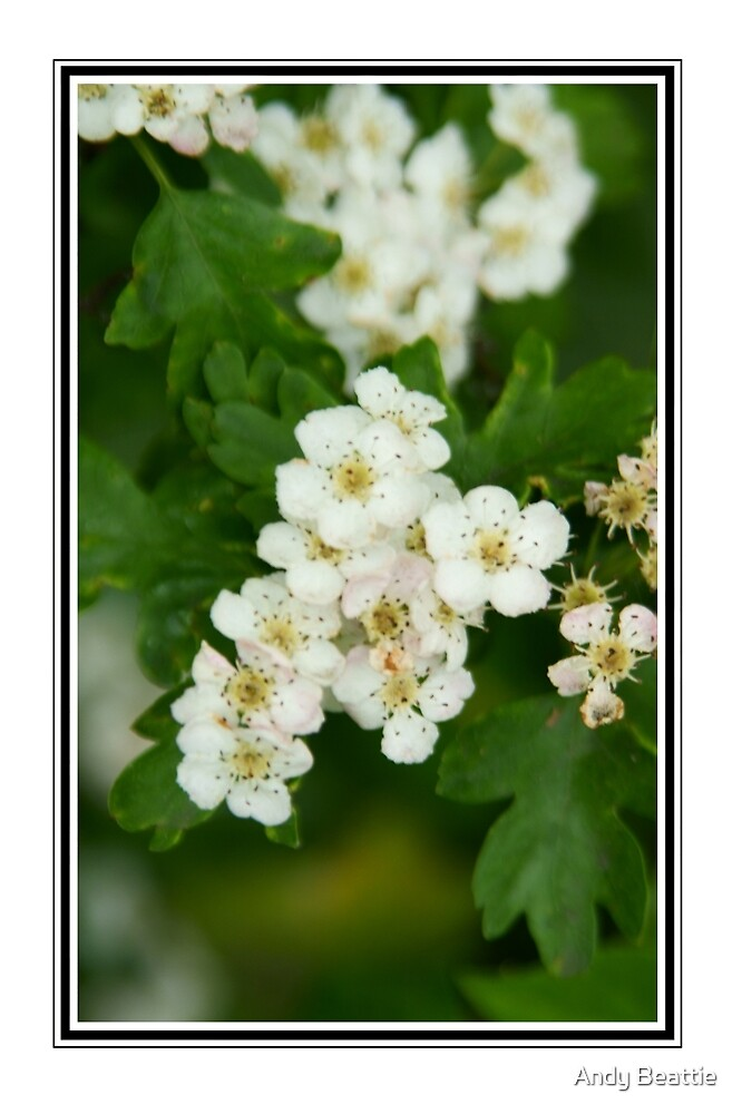 Hawthorn in bloom by Andy Beattie