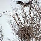 Bald Eagle & Nest by wolftinz