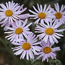 Mountain Asters by Arla M. Ruggles