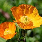 California Poppy by AnnDixon