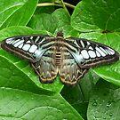 Butterfly 1 by WhiteDiamond