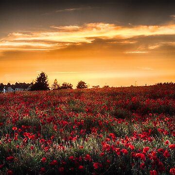Sunset over poppies by teapotore